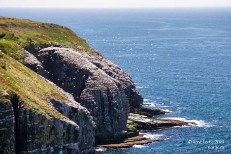 Les falaises de Cape St. Mary's