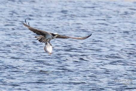 Balbuzard pêcheur / Osprey - Une belle plie