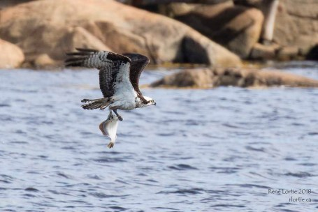 Balbuzard pêcheur / Osprey - Vers le nid