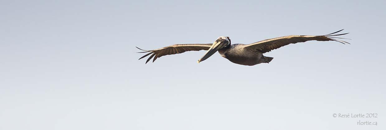 Pélican brun / Brown Pelican (Louisiane)