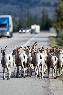 A flock of Bighorn Sheep,Ovis canadensis causing a sensation with tourists on the Yellowhead Highway in Jasper National Park, Alberta, Canada