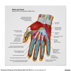 Wrist And Hand Unlabeled Diagram Bazooka Tube Wiring Anatomical Of The Human Poster Zazzle