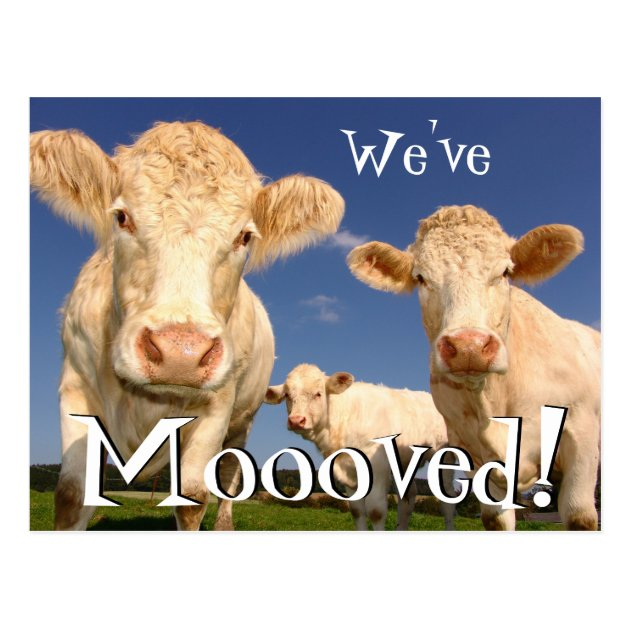 Cows Funny New Address Weve Moved Postcard Zazzle