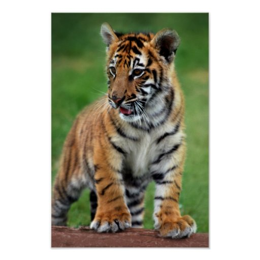 Cute Keychains Wallpapers A Cute Baby Tiger Cub Poster Zazzle Com