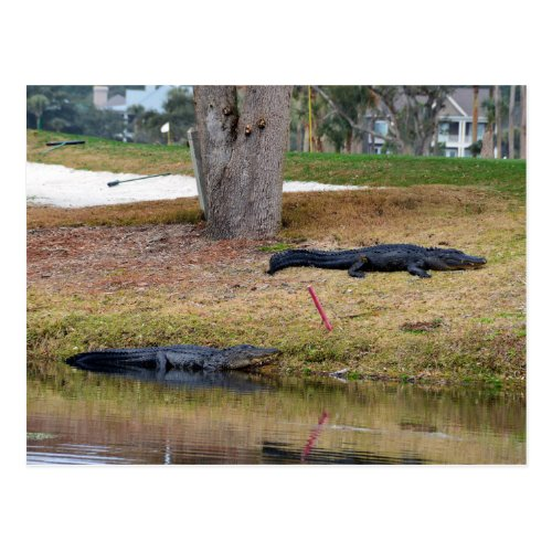 Alligator Hazard on the Golf Course Postcard