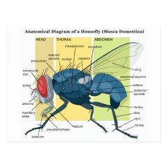 House Fly Anatomy Diagram Mitsubishi Montero Sport Wiring Of A Housefly Musca Domestica Postcard Zazzle Com