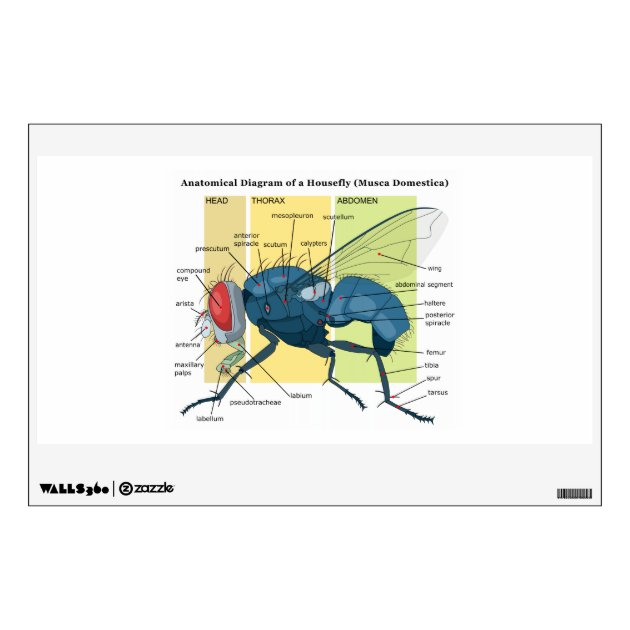 house fly anatomy diagram 2003 ford mustang engine of a housefly musca domestica wall sticker zazzle com
