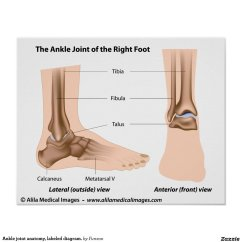 Joints Of The Foot Diagram Volkswagen Jetta Wiring Ankle Joint Anatomy Labeled Poster