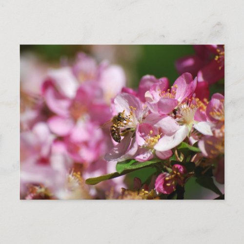 Apple Blossom and Honey Bee Postcard zazzle_postcard