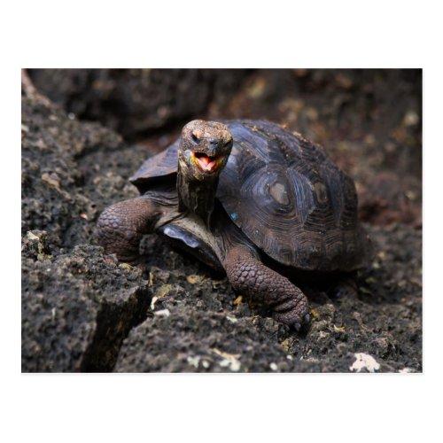 Baby Galapagos Giant Tortoise Postcard