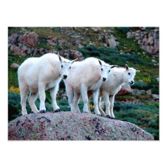 Baby Mountain Goats Photo Print