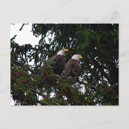 Bald Eagles Postcard postcard