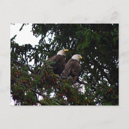 Bald Eagles Postcard postcard