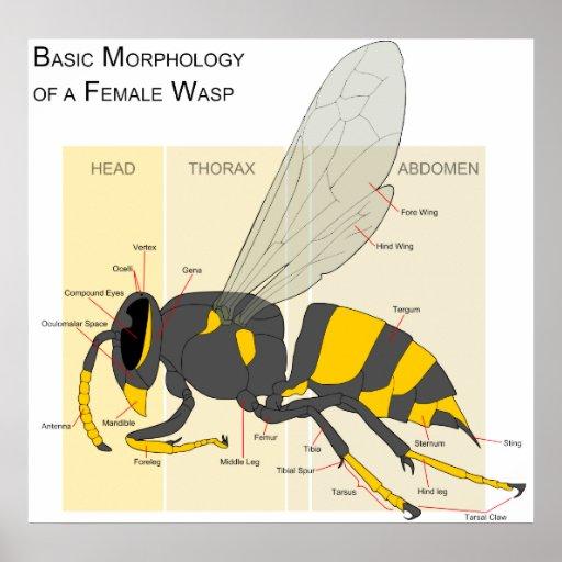 basic_morphology_of_a_female_wasp_diagram_poster rd3a983b4156f4d8fa80d82cae8afa7fb_ajwrb_8byvr_512 diagram bee blank honey anatomy