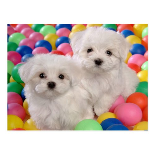 Bichon Frise Puppy Dog Blank Post Card