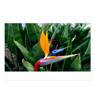 Bird Of Paradise Flower - California Postcard