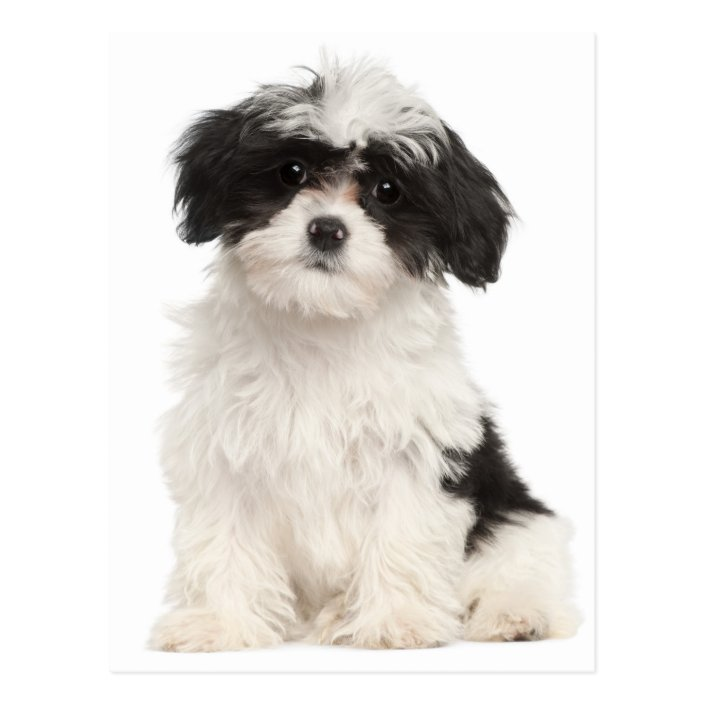 Black And White Havanese Puppy Dog Postcard Zazzle Com