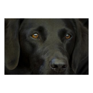 Black Labrador Dog Print print