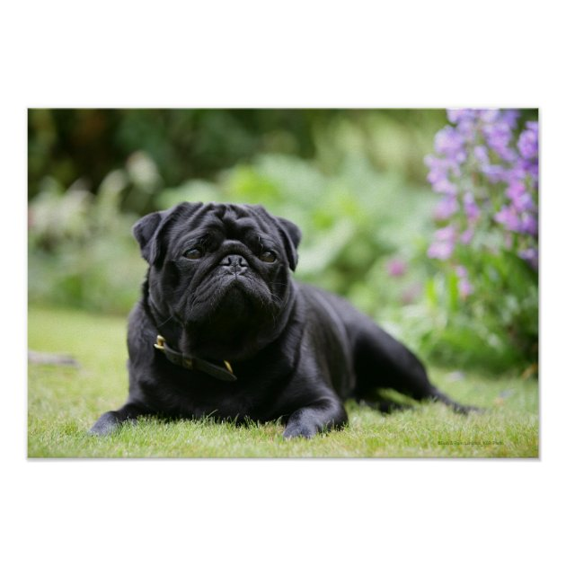 Black Pug Laying Down Poster Zazzle