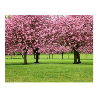 Blooming Sakura Trees Post Card