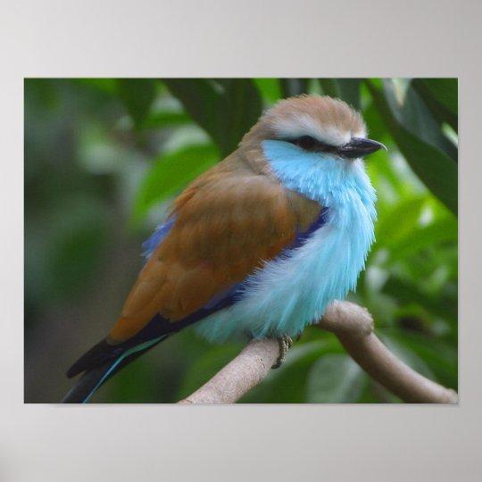 Blue Racket tailed Roller Bird poster FROM 1495  Zazzlecom
