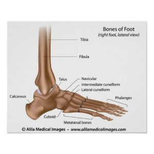 Bones of foot, labeled diagram poster | Zazzle