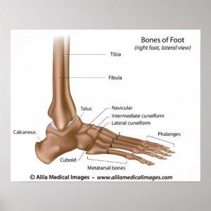 Bones of foot, labeled diagram poster | Zazzle