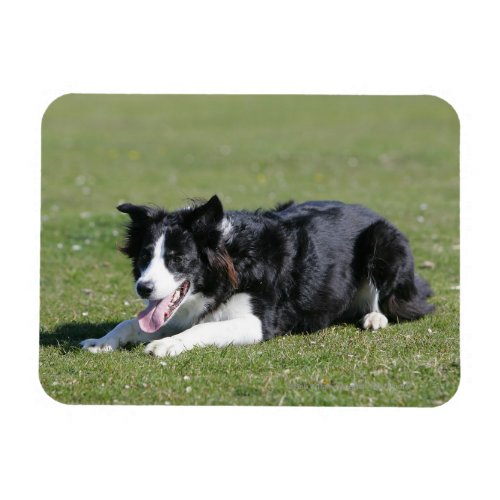 Border Collie Laying Down Magnet
