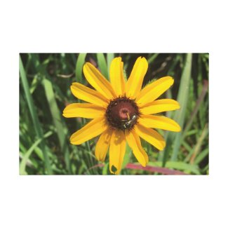 Brown-Eyed Susan flower bloom with Bee Canvas Print