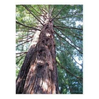 California Redwood Upshot Post Cards