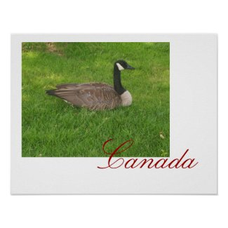 Canada Goose Canada Poster print
