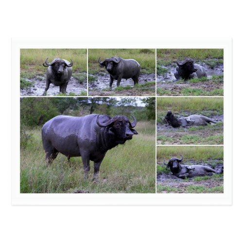 Cape Buffalo Enjoying Mud Bath, South Africa Postcard