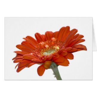 Card - Orange Daisy Gerbra Flower card