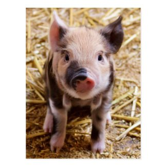 Cute Baby Piglet Farm Animals Barnyard Babies Postcard