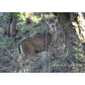 Deer (1a) - Customizable zazzle_card
