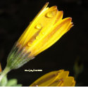 Dew Drops on a Yellow Daisy - Coaster zazzle_coaster