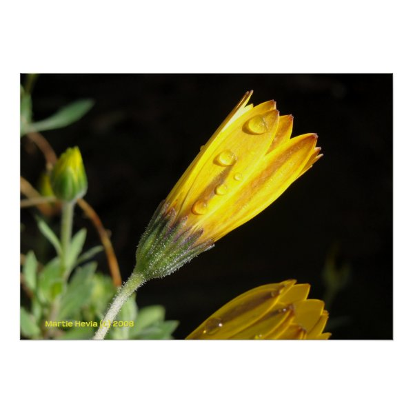 Dew on a Yellow Daisy Poster