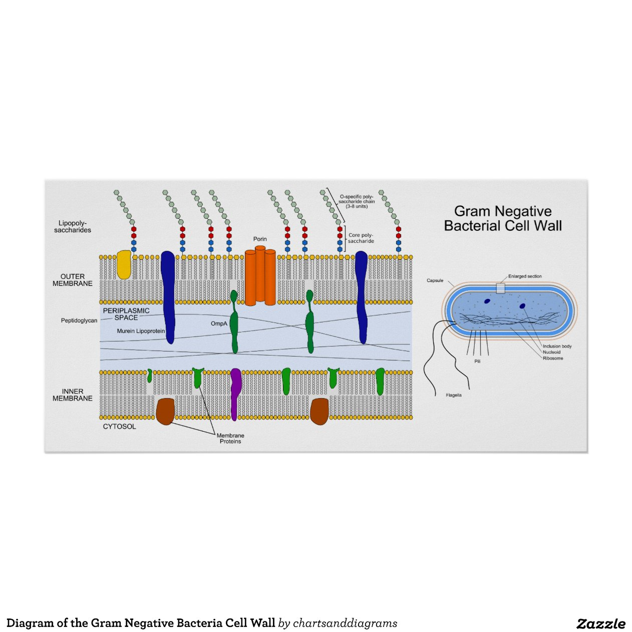 gram negative cell wall diagram how to wire a starter switch of the bacteria poster