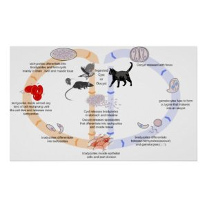 Diagram of the Life Cycle of Toxoplasma Gondii Poster | Zazzle