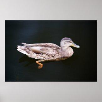 Duck 907b print