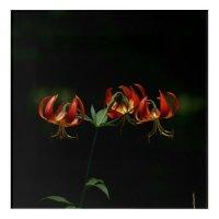 Flower, Acrylic Print. Acrylic Wall Art | Zazzle