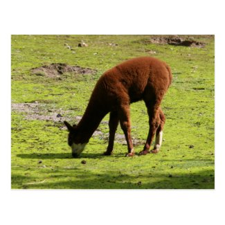Fluffy brown Llama grazing Postcard