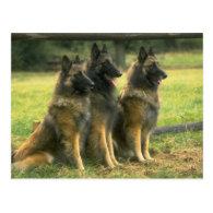 German Shepherd Dogs Postcards