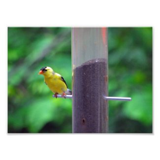 Goldfinch Art Photo