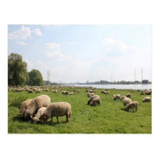 Grazing Sheep by the Rhine Post Card