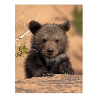 Grizzly bear (Ursus arctos horribilis) Post Card