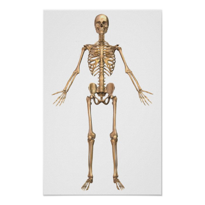 human skeletal system front view poster zazzle com