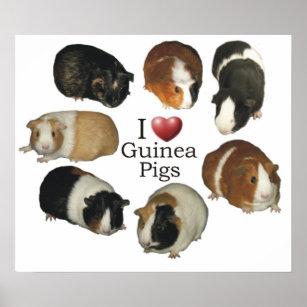 guinea pig posters prints zazzle