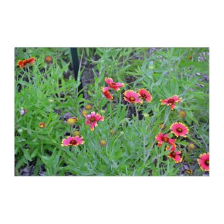 Indian Blanket Wildflowers Acrylic Print