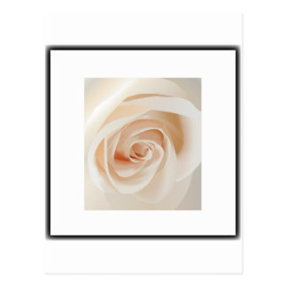 Ivory Rose Post Cards